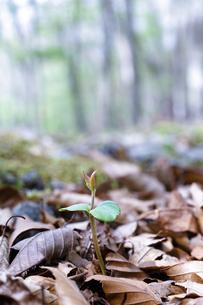 枯葉が積もる地面から顔を出したブナの芽の写真素材 [FYI04872382]