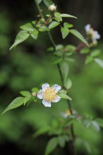 山の林縁で花をさ咲かせたヤブイバラの写真素材 [FYI04872383]