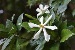 森の中で花を咲かせたクチナシの写真素材 [FYI04872390]