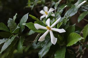 森の中で花を咲かせたクチナシの写真素材 [FYI04872391]