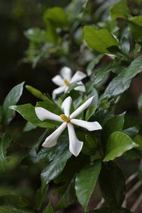 森の中で花を咲かせたクチナシの写真素材 [FYI04872392]