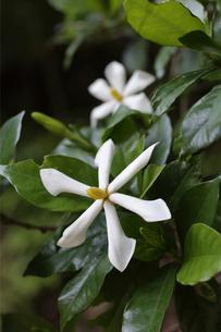 森の中で花を咲かせたクチナシの写真素材 [FYI04872393]