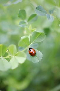 ウマゴヤシの葉で休むナナホシテントウの写真素材 [FYI04872394]