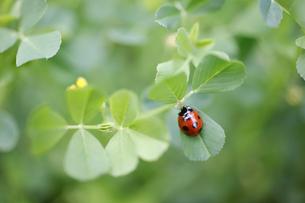 ウマゴヤシの葉で休むナナホシテントウの写真素材 [FYI04872395]