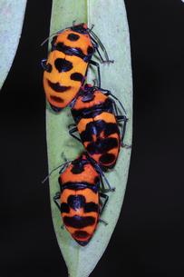 葉裏で越冬するオオキンカメムシの写真素材 [FYI04872396]