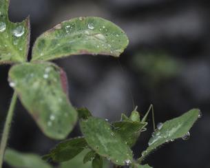 ヤブキリの幼虫の写真素材 [FYI04872705]