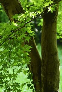 貯水池の周りの雑木林の中にあるモミジの木の幹と緑色の葉の写真素材 [FYI04872949]