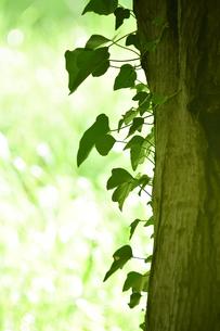 貯水池の周りの雑木林の木の幹に絡まるハート形の緑色の葉の写真素材 [FYI04872951]