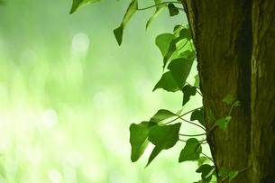 貯水池の周りの雑木林の木の幹に絡まるハート形の緑色の葉の写真素材 [FYI04872952]