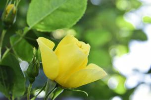 バラ(バラ科バラ属)の黄色の花と葉の写真素材 [FYI04872979]