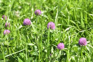 ムラサキツメクサ別名アカツメクサ(シャジクソウ属)の赤紫色の花の写真素材 [FYI04872993]