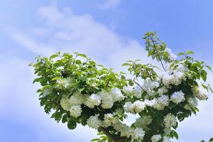 オオデマリ(スイカズラ科の落葉低木)の白い花と葉と枝と青空と雲の写真素材 [FYI04873008]