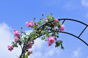 アーチ型の支柱に咲くピンク色のバラ(バラ科バラ属)の花とつぼみと葉と青空と雲の写真素材 [FYI04873009]