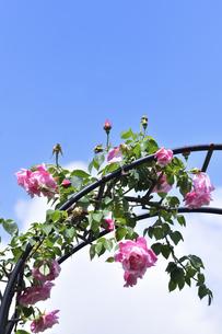 アーチ型の支柱に咲くピンク色のバラ(バラ科バラ属)の花とつぼみと葉と青空と雲の写真素材 [FYI04873010]