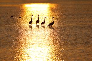 朝日に光る水面とハクチョウの写真素材 [FYI04873061]