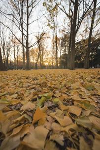 一面の落ち葉と夕陽の写真素材 [FYI04873205]
