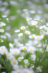 海岸近くの野原に咲き誇るヒメジオンの写真素材 [FYI04873256]