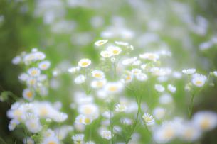 海岸近くの野原に咲き誇るヒメジオンの写真素材 [FYI04873258]