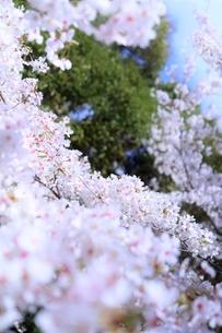 桜の海(染井吉野)の写真素材 [FYI04873479]