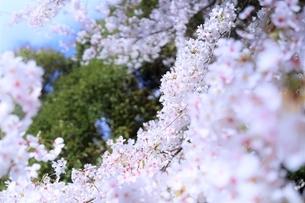 桜の海(染井吉野)の写真素材 [FYI04873480]