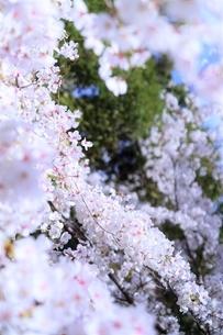 桜の海(染井吉野)の写真素材 [FYI04873481]