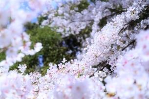 桜の海(染井吉野)の写真素材 [FYI04873482]