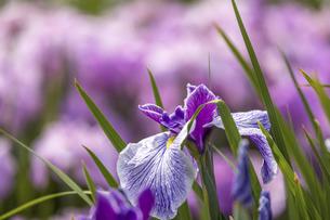 屋外で撮影した花菖蒲画像の写真素材 [FYI04873494]