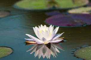 池に咲くスイレンの写真素材 [FYI04873495]