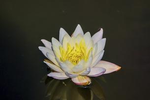 池に咲くスイレンの写真素材 [FYI04873496]