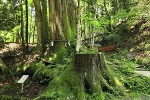 貴船神社 相生の杉(御神木)の写真素材 [FYI04874211]