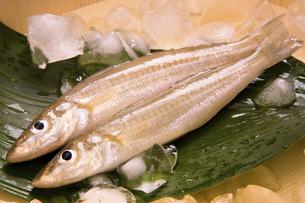 天ぷらで美味しい白ぎすの写真素材 [FYI04874372]