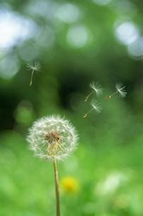 風に舞うタンポポの綿毛の写真素材 [FYI04874438]