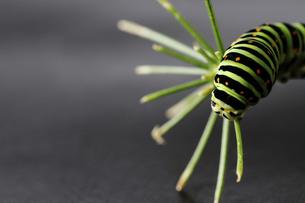 アゲハ蝶の幼虫のクローズアップ画像の写真素材 [FYI04874603]