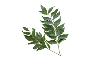 白背景のカレーリーフ(オオバゲッキツ)の葉の写真素材 [FYI04874610]