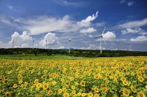 布引高原のヒマワリ畑と風車群の写真素材 [FYI04874612]