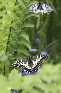 羊歯の葉の上で休むウスバシロチョウとアゲハ蝶の写真素材 [FYI04875080]