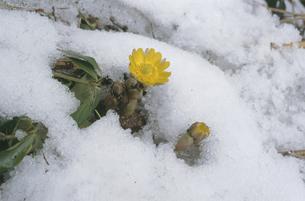 残雪とフクジュソウ(北海道・鶴居村)の写真素材 [FYI04875118]