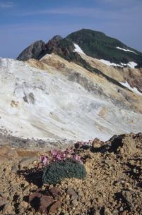 知円別岳のコマクサ(北海道・知床)の写真素材 [FYI04875140]