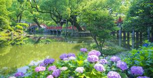 福岡県 風景 太宰府天満宮 紫陽花咲く心字池と太鼓橋の写真素材 [FYI04875383]