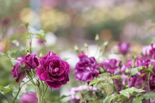 薔薇園の薔薇の写真素材 [FYI04875395]