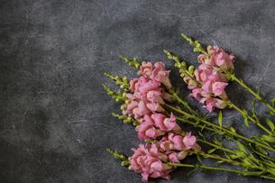 コンクリート模様背景のピンクのストックの写真素材 [FYI04875398]