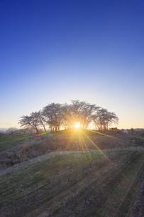 一本木公園の桜から射す夕日と椀子ヴィンヤードのブドウ畑の写真素材 [FYI04875434]