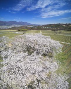一本木公園の桜と椀子ヴィンヤードのブドウ畑と浅間山の写真素材 [FYI04875438]