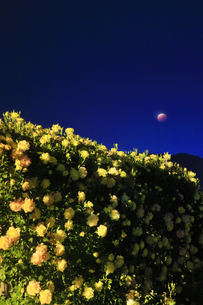 バラ(サハラ'98)と皆既月食の写真素材 [FYI04875503]