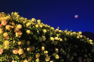 バラ(サハラ'98)と皆既月食の写真素材 [FYI04875504]
