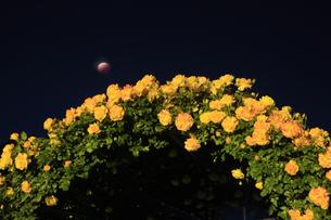 バラ(サハラ'98)のアーチと皆既月食の写真素材 [FYI04875508]