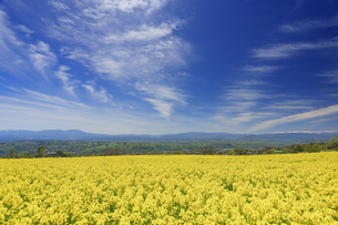 滋野甲の菜の花畑とすじ雲と八ヶ岳と美ヶ原と北アルプス遠望の写真素材 [FYI04875539]