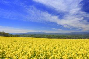 滋野甲の菜の花畑とすじ雲と八ヶ岳と美ヶ原遠望の写真素材 [FYI04875543]