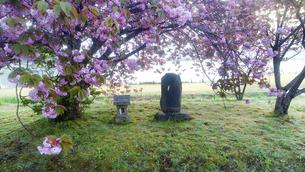八重桜咲く朝の舌喰池の祠の写真素材 [FYI04875556]