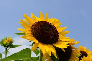 ハーベストの丘、青空の花畑とヒマワリの花の写真素材 [FYI04875619]